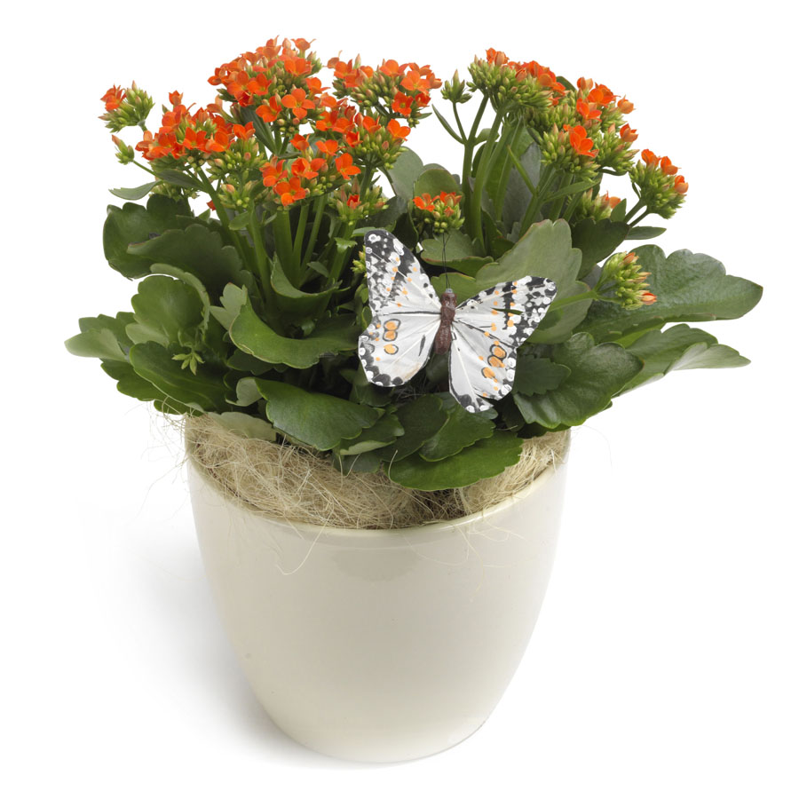 kalanchoe in pot