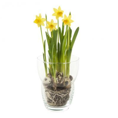 Narcissen in glas